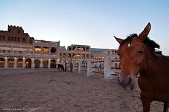 Horse Vista (puthoOr photOgraphy) Tags: horse dk souq doha qatar lightroom dohaqatar d90 adobelightroom nikond90 souqwaqif lightroom3 qatarliving tokinaaf1116mm amazingqatar tokina11 puthoor amazingdoha souqwqaif gettyimagehq puthoorphotography