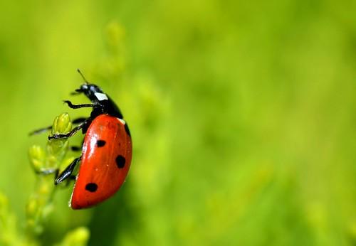 7-Spot (pallab seth) macro bokeh ngc insects ladybugs ladybirds gettyimages ladybeetles coccinellidae coccinellaseptempunctata ahqmacro tamronaf90mmf28dispam11macrolens blinkagain nikond3100 thesevenspotladybird stunningphotogpin