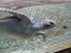 Sea turtle from right side, head, shoulders, flippers, front half (wbaiv) Tags: california sea sky water beauty outdoors aquarium bay coast monterey open tank natural turtle side salt right front exhibits