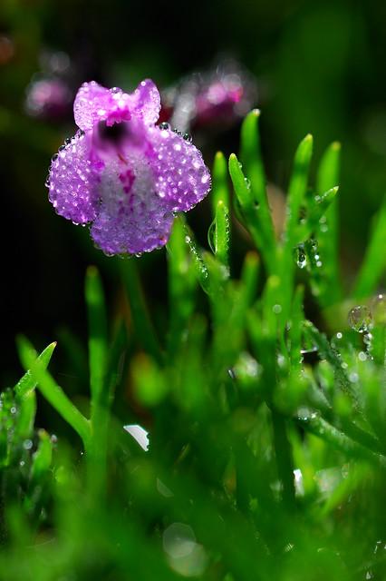 疏花風輪菜 Clinopodium laxiflorum