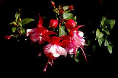 Primavera (Eduardo Amorim) Tags: brazil flower southamerica field brasil flor fuchsia campo pelotas blume fiore riograndedosul pampa champ brsil amricadosul amriquedusud sudamrica suramrica amricadelsur sdamerika costadoce americadelsud americameridionale auffangen eduardoamorim brincodeprincesa