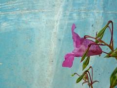 Himalayan Balsam (amy's antics) Tags: paleblue 365d
