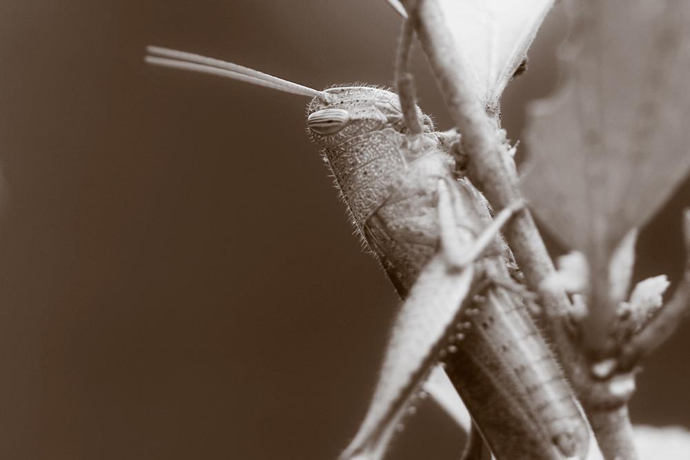 Sepia 19/30: Grasshopper