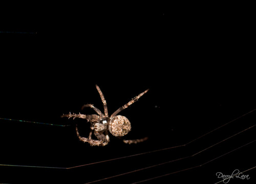 orb weavers (1 of 1)