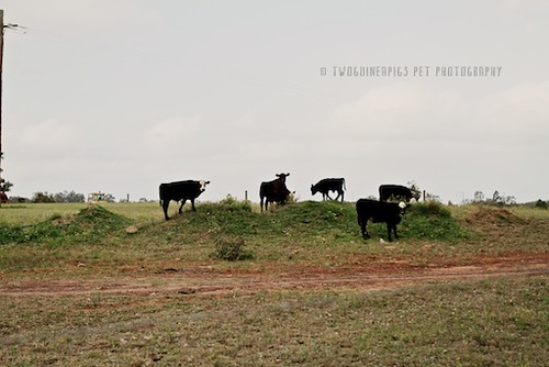 Cows in paddock by twoguineapigs pet photography