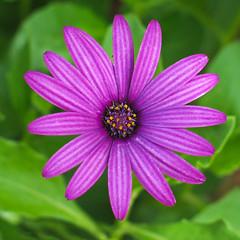 Nature's Jewellery Box (missnoma) Tags: flower green floral garden flora lavender bloom fiori blum littleflowers osteospermum naturesfinest capedaisy magicunicornverybest theafricandaisy