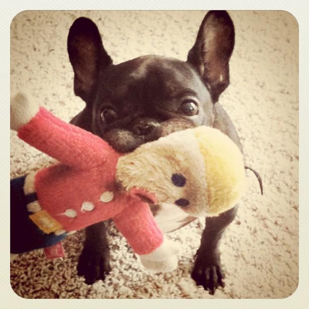 Oh Nooooooo... #LeRoy #frenchbulldog #Frenchie #MrBill