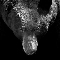 [フリー画像] 動物, 哺乳類, 熊・クマ, モノクロ写真, 201110011100