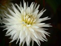 Sept Dahlia (saxonfenken) Tags: dahlia white flower macro dof superhero spikes onblack bigmomma 685 challengewinner friendlychallenges thechallengefactory yourockwinner herowinner pregamesweepwinner gamesweepwinner sept29the30rowing 685flowers