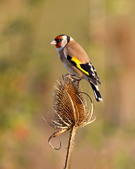 Goldy (Andrew Haynes Wildlife Images) Tags: bird nature rugby wildlife goldfinch warwickshire draycotewater ajh2008