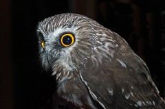 Northern Saw-whet Owl (Ron Wolf) Tags: bird nature colorado wildlife raptor aegoliusacadicus northernsawwhetowl strigidae