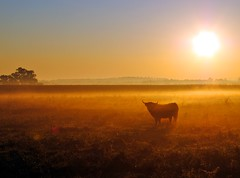 Bull at sunrise (Tobi_2008) Tags: trees sky sun mist color nature field animal fog sunrise germany landscape deutschland soleil niceshot nebel saxony natur feld himmel bull ciel sachsen tobi landschaft sonne farbe bume sonnenaufgang allemagne germania tier stier colorphotoaward flickrhearts angelaward flickraward platinumheartaward goldstaraward thebestshot artofimages doubledraganawards bestcapturesaoi naturesprime flickrsgottalent bestpeopleschoice mygearandme mygearandmepremium mygearandmebronze mygearandmesilver mygearandmegold mygearandmeplatinum mygearandmediamond ringexcellence dblringexcellence level1photography artistoftheyearlevel3 artistoftheyearlevel4 musictomyeyeslevel1
