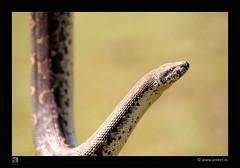 Javelin Sand Boa (Ameet...) Tags: orange india yellow forest canon sand snake wildlife indian sharp boa maharashtra python snakes 70200 gree nagpur ameet nonis dhapulkar makardhokda wwwameetin