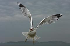 RingbilledGull1 (gcampbellphoto) Tags: flight northernireland portrush rarity ringbilledgull