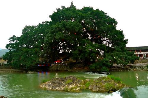 .....千年大榕樹還長得很好.....