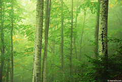 Deep forest (.:: Maya ::.) Tags: trees mist mountain green forest woods deep bulgaria copy beech rhodope