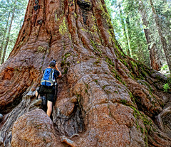 Exploring a Giant Sequoia. ((The) DMC) Tags: park trees usa national sequoia