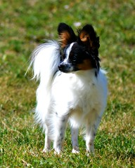 Maxx (Pappup2010) Tags: dog pet white black color cute animal butterfly puppy toy small tan ears canine papillon tricolor pup breed tri pap toybreed  butterflydog