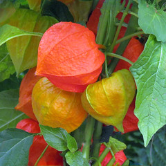 Chinese Lantern Flowers (njchow82) Tags: orange plant flower nature closeup square calyx chineselanterns simplyflowers beautifulexpression languageofflowers nancychow canonpowershotsx30is