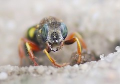 Oxybelus argentatus (Horst Beutler) Tags: portrait wasp pentax wildlife blueeyes colourful hymenoptera frontalview diggerwasp sandwasp aculeata crabronidae specinsect grabwespe k20d pentaxart oxybelusargentatus copyrighthorstbeutlerphotography