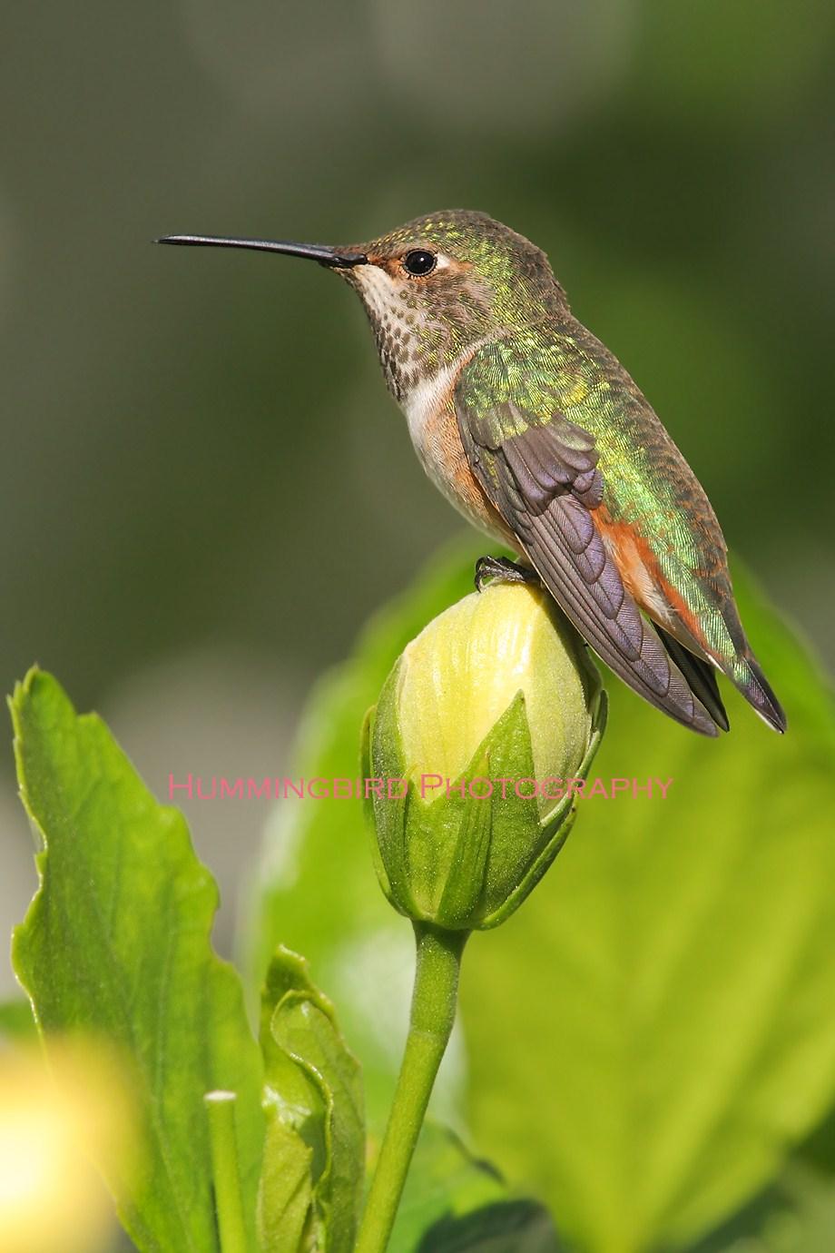 Allen's Hummingbird 101101-3