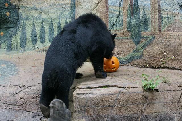 Медведь с тыквой (Taipei Zoo)