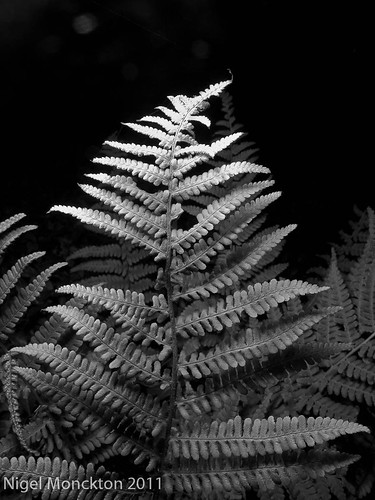 1000/608: 12 Oct 2011: Fern by nmonckton