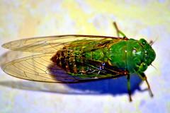 cicada (Buyung Mukawi (OFF)) Tags: phoddastica afeastformyeyesaward