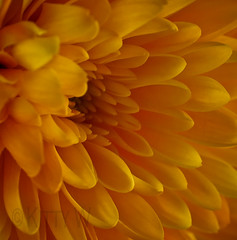 Autumn Gold (Kitty W) Tags: autumn orange flower macro gold amber petals pretty bloom chrysanthemum autumngold