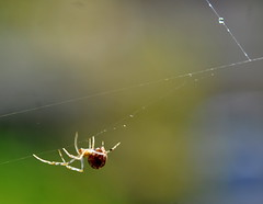 tiny (Cast a Line) Tags: spider smallspider spiderinweb