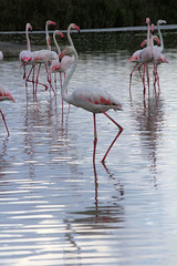 Camargue 1 09.11 118 (MUMU.09) Tags: bird rose photo foto flamingo aves ave bild fugl oiseau flaming flamenco  vogel imagem  uccello  ku chim ptak fgel   flamant     fenicottero  madr    an      plamek  hng      tkklistar  hac