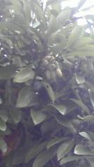 ドングリの木の写真