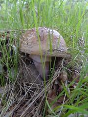 Amanite vineuse (Nemorivagus-Nature) Tags: forest fungi forêt champignon maineetloire amanitaceae amanitarubescens collectionnerlevivantautrement