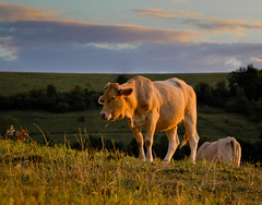 Time to be heading home (Coombes-Merton_ Away for a while) Tags: sunset canon landscape evening countryside cattle bovine dragondaggerphoto