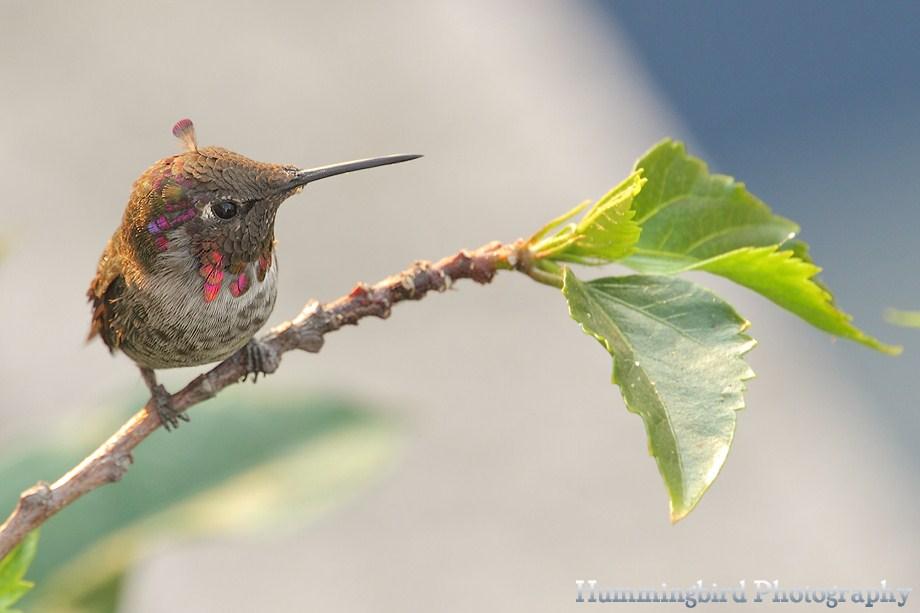 Anna's Hummingbird 091411