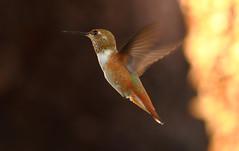 Female Rufous (joecrowaz) Tags: city light wild arizona motion color nature phoenix birds animals canon wings raw shadows flight hummingbirds manual rufous 550d ef300mmf4lisusm t2i