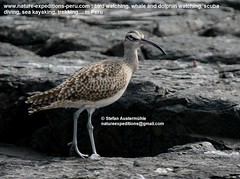 Whimbrel Birding Peru (2) (Nature Expeditions 06) Tags: trip vacation bird peru nature birds port islands marine holidays tour shorelines birding stefan coastal shore wetlands beaches trips guide guano sandpipers whimbrel expeditions numenius pucusana numeniusphaeopus phaeopus scolopacidae birdguide pantanosdevilla natureexpeditions birdinginperu austermhle birdingperu sandpipersofperu shorebirdsofperu