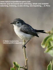 Tropical gnatcatcher Birding_Peru_338 (Nature Expeditions 06) Tags: trip vacation bird peru nature major holidays tour birding stefan tropical trips guide gnatcatcher expeditions polioptila bilineata birdguide tropicalgnatcatcher polioptilaplumbea plumbea polioptilidae parvirostris natureexpeditions birdinginperu austermhle birdingperu polioptilaplumbeabilineata polioptilaplumbeaparvirostris polioptilaplumbeamajor gnatcatchersofperu