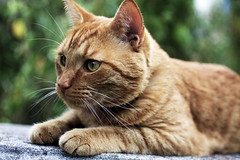 Buddy (DFChurch) Tags: orange pet eye nature animal cat feline buddy stare highqualityanimals