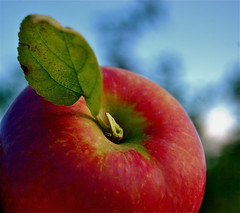 ready for a bite (Kadeefoto) Tags: fall apple shelburnefarm farm massachusetts orchard applepicking stowema