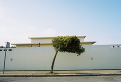 All Alone (Ligustrum lucidum) (sf eyes) Tags: zeiss foundinsf banal franksinatra contax167mt gwsf treesontuesday