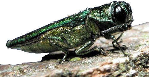 The emerald ash borer is an example of a non-native, wood-boring insect.