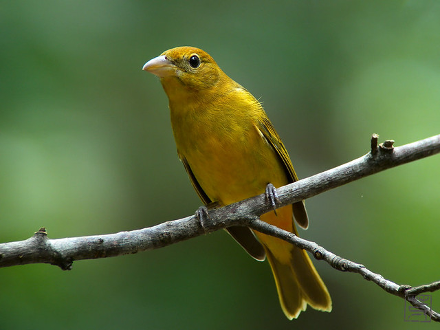Summer Tanager female, Sep 2011