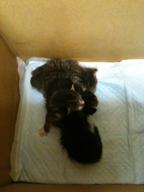 子猫3匹保護した