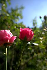 A Pair of Roses (fs999) Tags: pink flower macro fleur rose paintshop pentax bokeh rosa iso paintshoppro uga blume makro limited k5 highiso corel bloem aficionados pentaxist uwa artcafe ultrawideangle vob youmademyday masterphotos 80iso vuedenbas pentaxian newk elitephotography ashotadayorso macrolife justpentax topqualityimage zinzins ultragrandangle flickrlovers dalimited topqualityimageonly fs999 pentaxart hairygitselite da15 pentaxda15mmf4edallimited pentaxk5 newk5 paintshopprox4ultimate x4ultimate