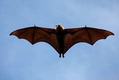 Grey-headed Flying Fox [e