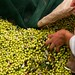 Olive harvesting Costa Navarino