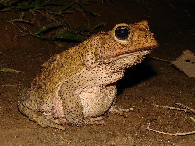 Cuban spotted toad (Peltophryne taladai)--Ariel Rodriguez