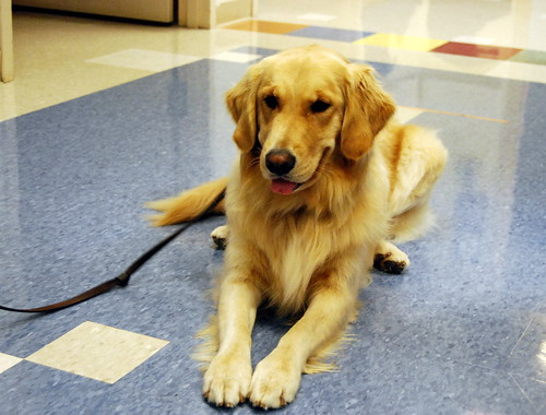 Tinsel the Pet Therapy Dog