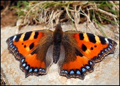 Small Tortoiseshell (Kevin Pendragon) Tags: 1001nights charterhouse wonderfulworldofmacro 1001nightsmagiccity unlimitedinsectslevel1